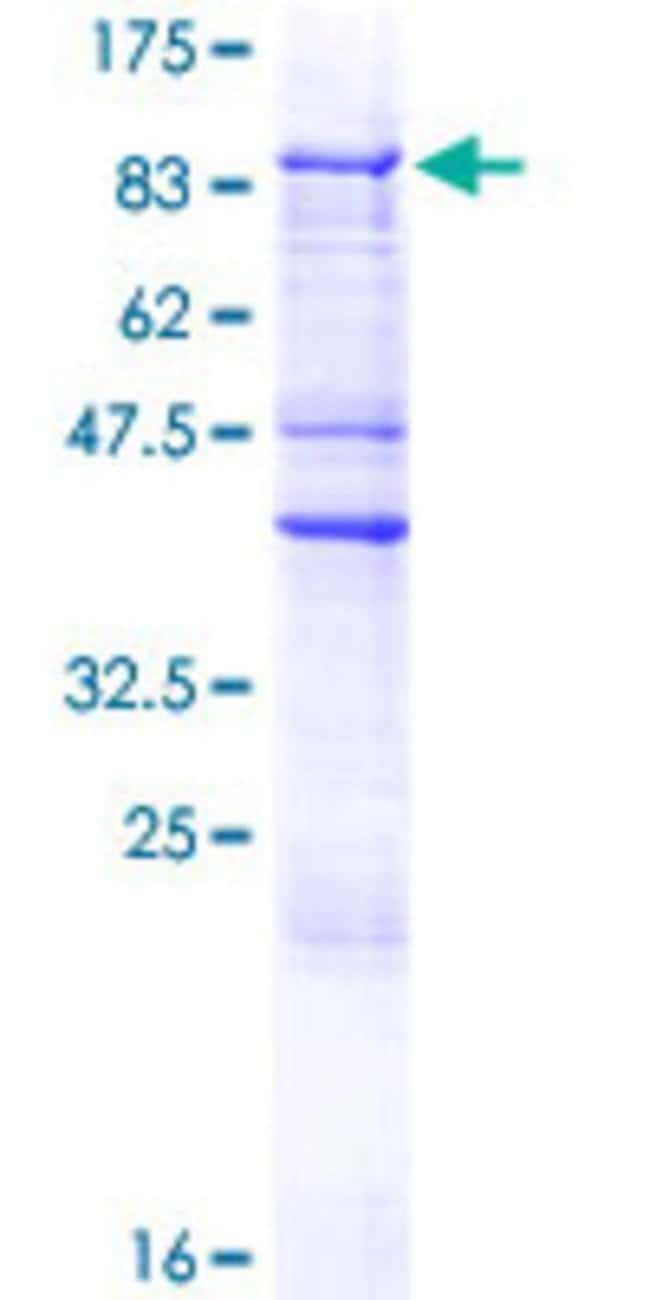 Abnova™Human ZNF205 Full-length ORF (AAH02810.1, 1 a.a. - 554 a.a.) Recombinant Protein with GST-tag at N-terminal 10μg Abnova™Human ZNF205 Full-length ORF (AAH02810.1, 1 a.a. - 554 a.a.) Recombinant Protein with GST-tag at N-terminal