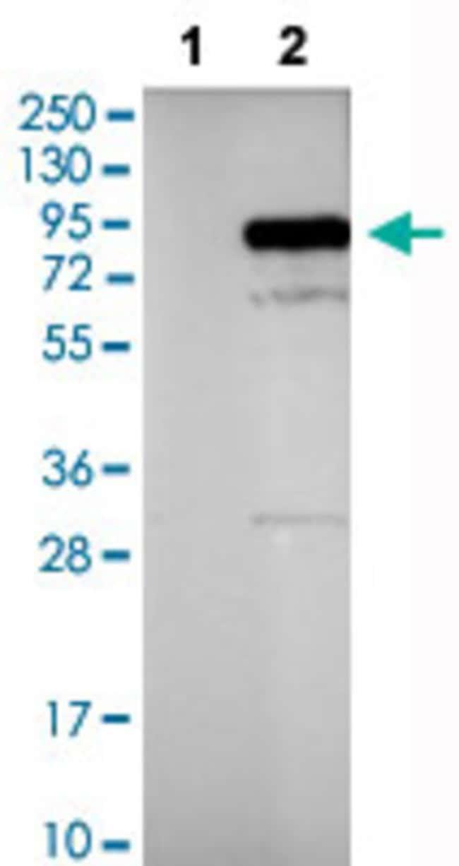 PIK3R1 Rabbit anti-Human, Polyclonal , Abnova 100μL; Unlabeled:Antibodies