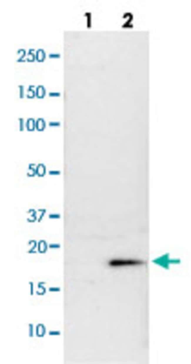 DIABLO Rabbit anti-Human, Rat, Polyclonal , Abnova 100μL; Unlabeled:Antibodies