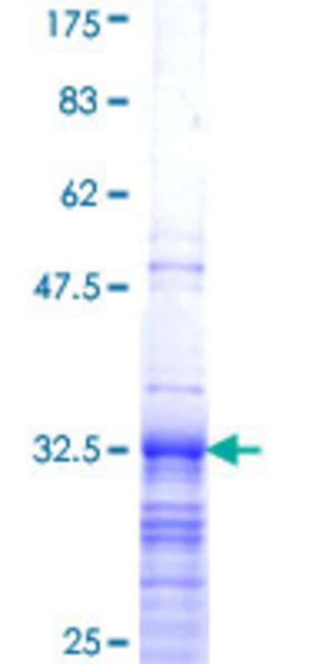 Abnova Human HIST1H3G Partial ORF (NP_003525, 1 a.a. - 60 a.a.) Recombinant