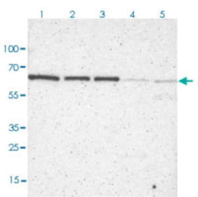 TERF2 Rabbit anti-Human, Polyclonal Antibody, Abnova 100μL; Unlabeled:Antibodies