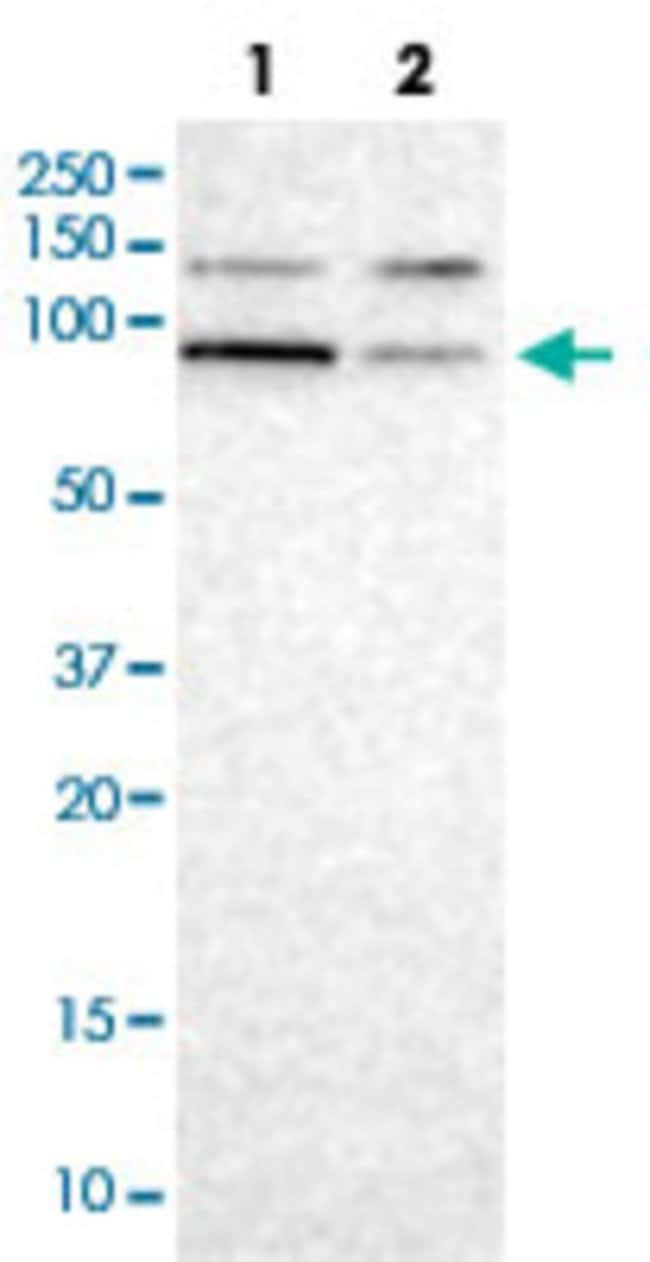 CUL5 Rabbit anti-Human, Polyclonal , Abnova 100μL; Unlabeled:Antibodies