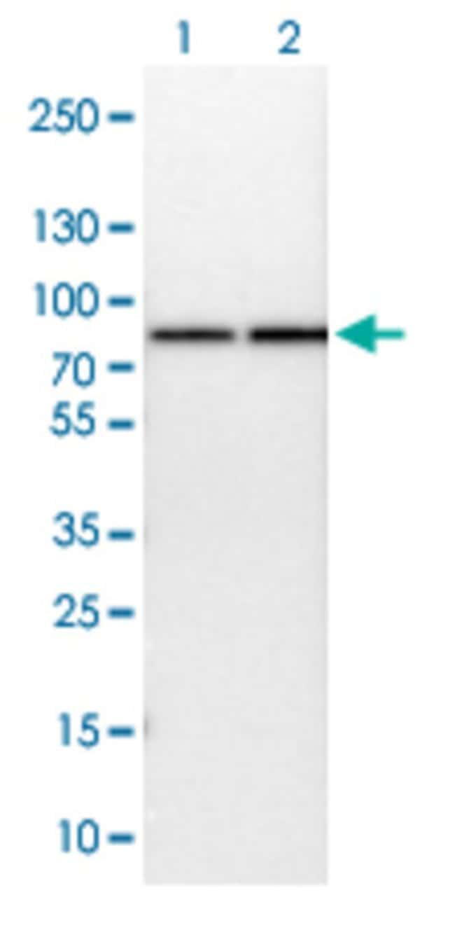 HSPA9 Rabbit anti-Human, Mouse, Rat, Polyclonal , Abnova 100μL; Unlabeled:Antibodies
