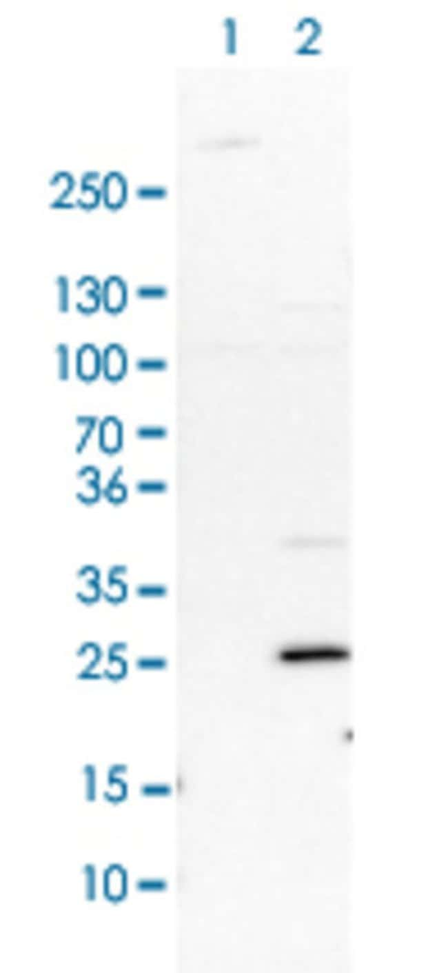 FHL1 Rabbit anti-Human, Rat, Polyclonal , Abnova 100μL; Unlabeled:Antibodies