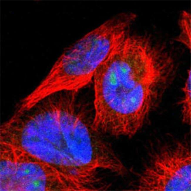 HIF1A Rabbit anti-Human, Polyclonal , Abnova 100μL; Unlabeled:Antibodies