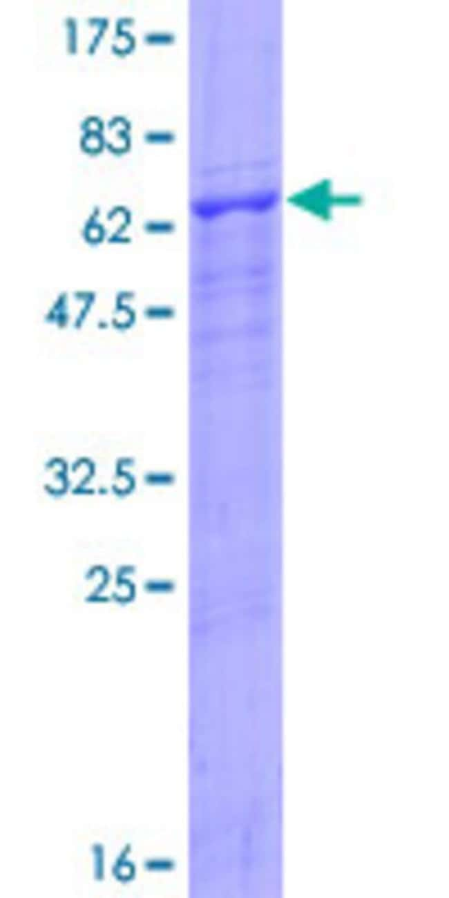 Abnova™Human CD84 Full-length ORF (NP_003865.1, 1 a.a. - 328 a.a.) Recombinant Protein with GST-tag at N-terminal 10μg Abnova™Human CD84 Full-length ORF (NP_003865.1, 1 a.a. - 328 a.a.) Recombinant Protein with GST-tag at N-terminal