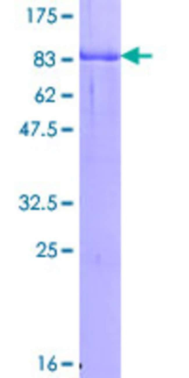 Abnova Human GYG2 Full-length ORF (AAH23152.1, 1 a.a. - 470 a.a.) Recombinant