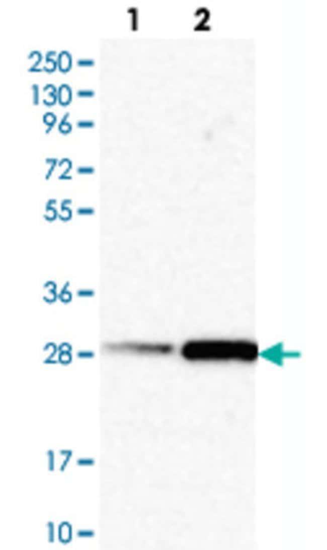 IL23A Rabbit anti-Human, Polyclonal , Abnova 100μL; Unlabeled:Antibodies