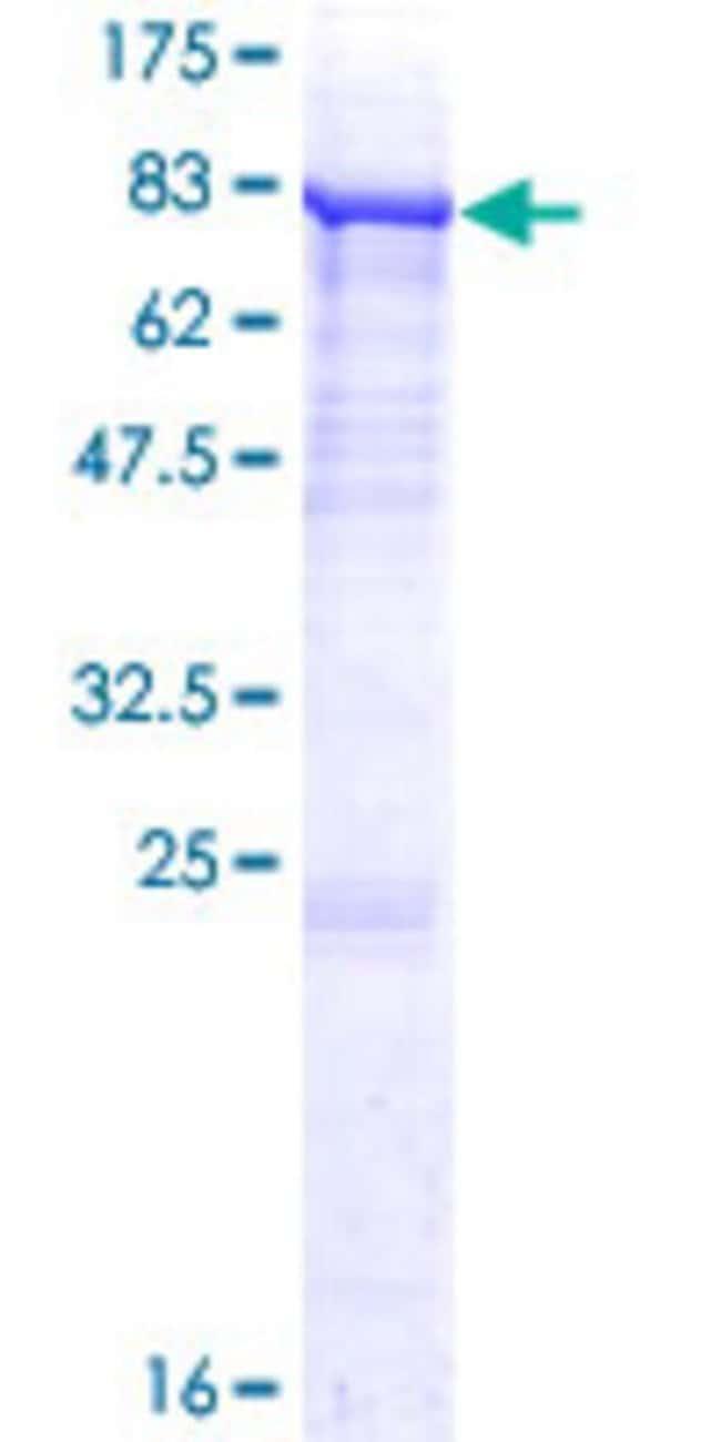 Abnova Human P4HA2 Full-length ORF (NP_001017973.1, 1 a.a. - 533 a.a.)