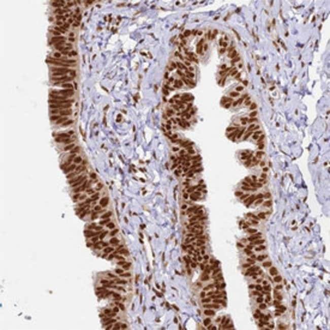 HNRNPA1 Rabbit anti-Human, Polyclonal , Abnova 100μL; Unlabeled:Antibodies