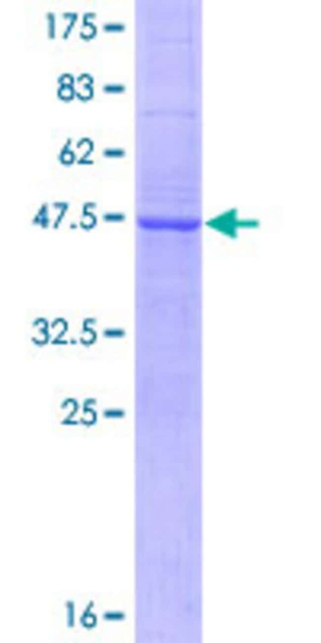 Abnova™Human TNFSF18 Full-length ORF (NP_005083.1, 1 a.a. - 177 a.a.) Recombinant Protein with GST-tag at N-terminal 10μg Abnova™Human TNFSF18 Full-length ORF (NP_005083.1, 1 a.a. - 177 a.a.) Recombinant Protein with GST-tag at N-terminal