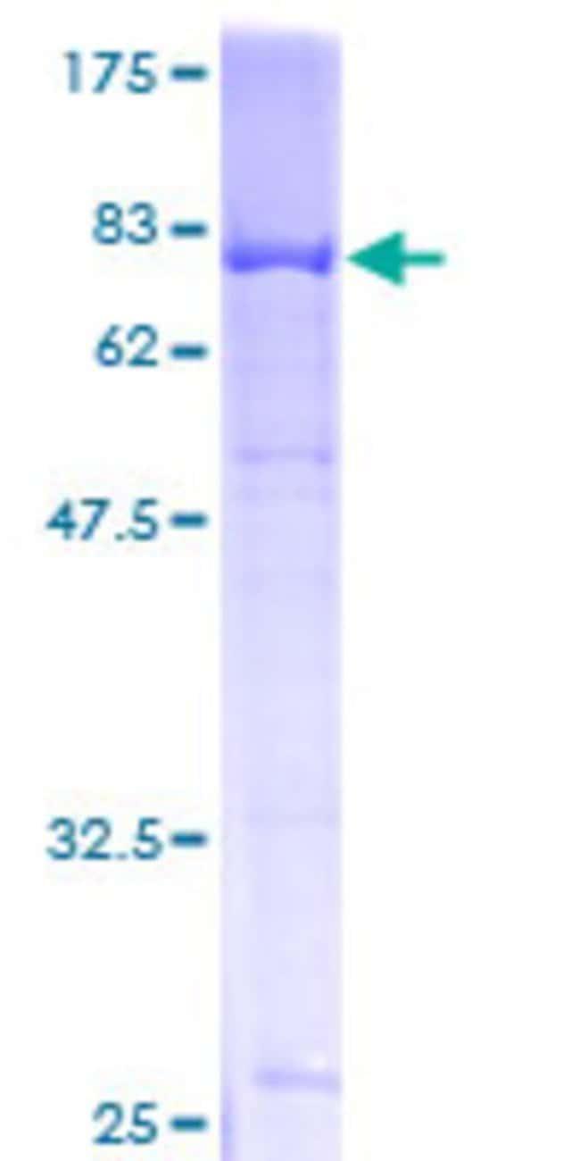 Abnova Human LDB2 Full-length ORF (AAH34019, 1 a.a. - 373 a.a.) Recombinant