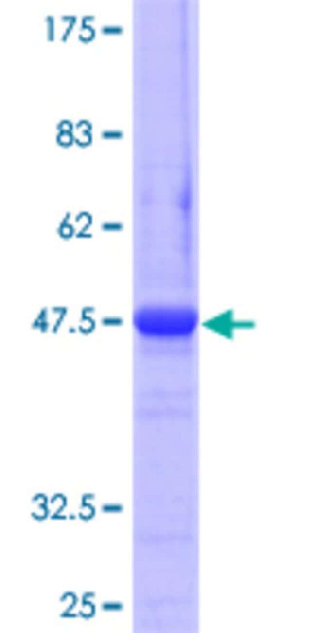 AbnovaHuman ATG12 Full-length ORF (AAH12266, 1 a.a. - 140 a.a.) Recombinant
