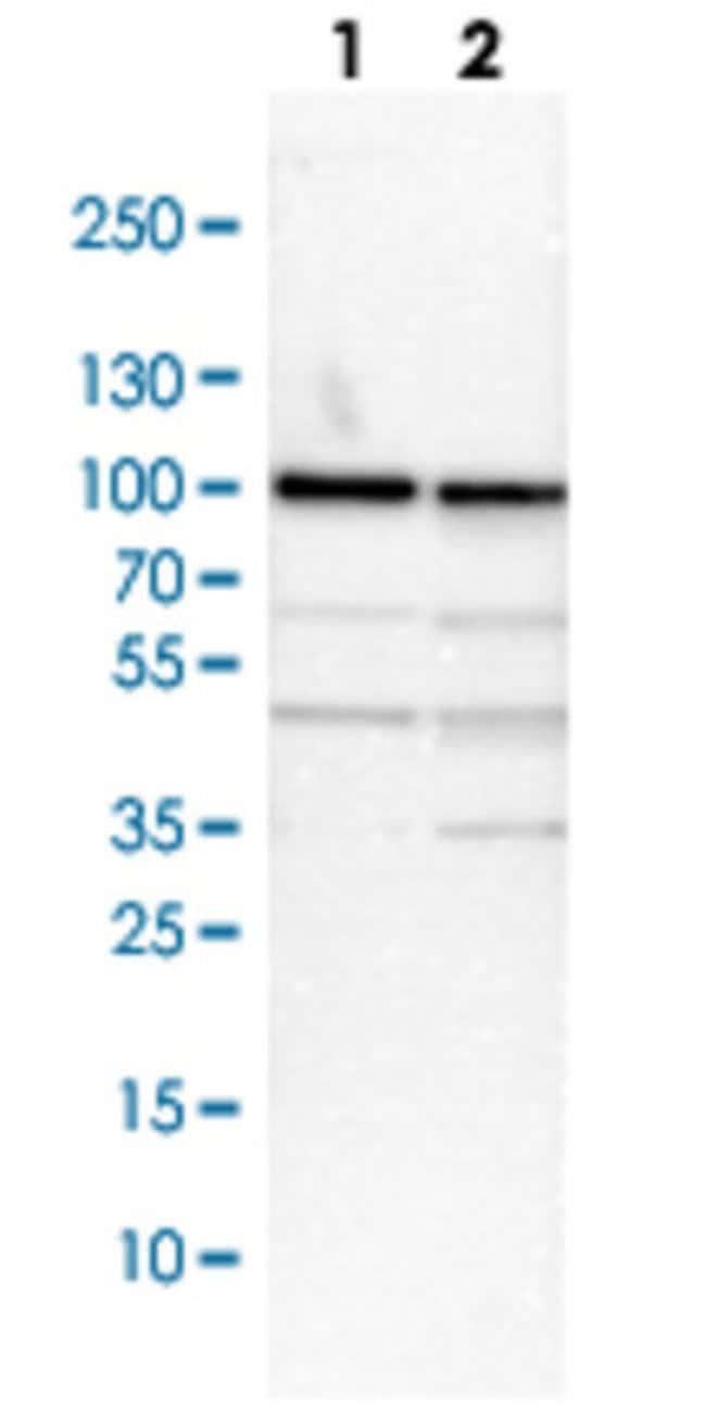 RPS6KA3 Rabbit anti-Human, Mouse, Rat, Polyclonal , Abnova 100μL; Unlabeled:Antibodies