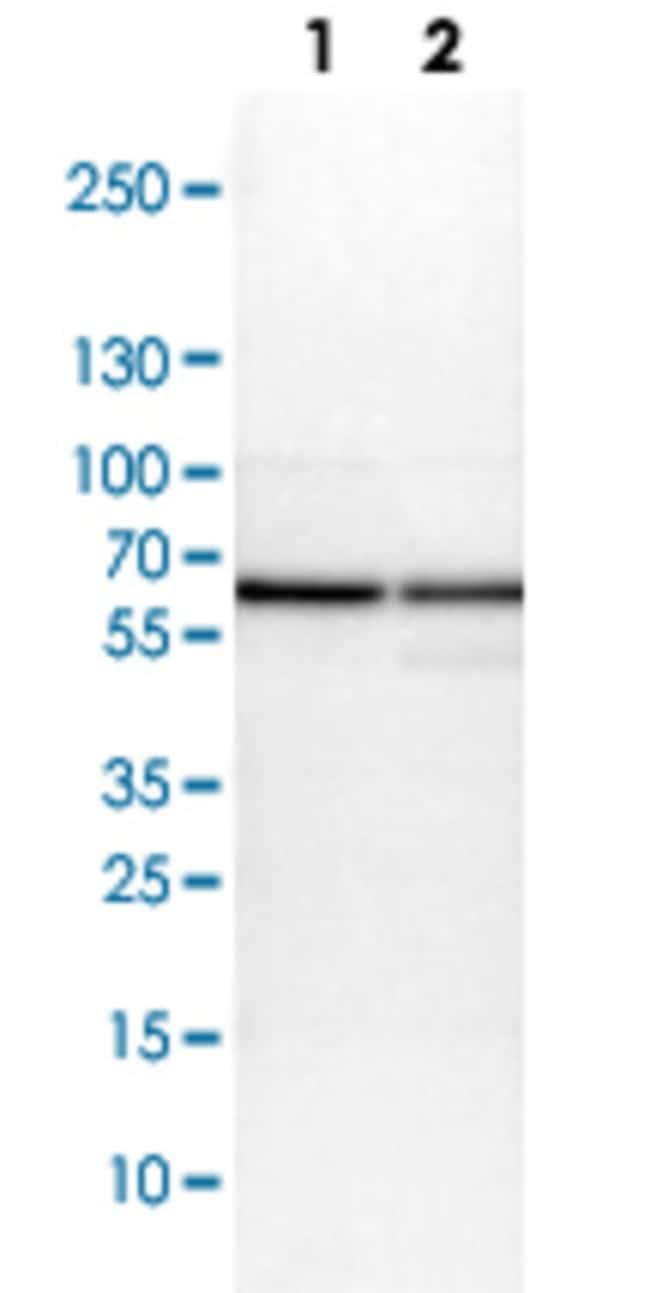 PDIA3 Rabbit anti-Human, Mouse, Rat, Polyclonal , Abnova 100μL; Unlabeled:Antibodies