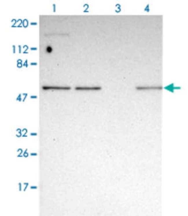 GABPA Rabbit anti-Human, Polyclonal , Abnova 100μL; Unlabeled:Antibodies
