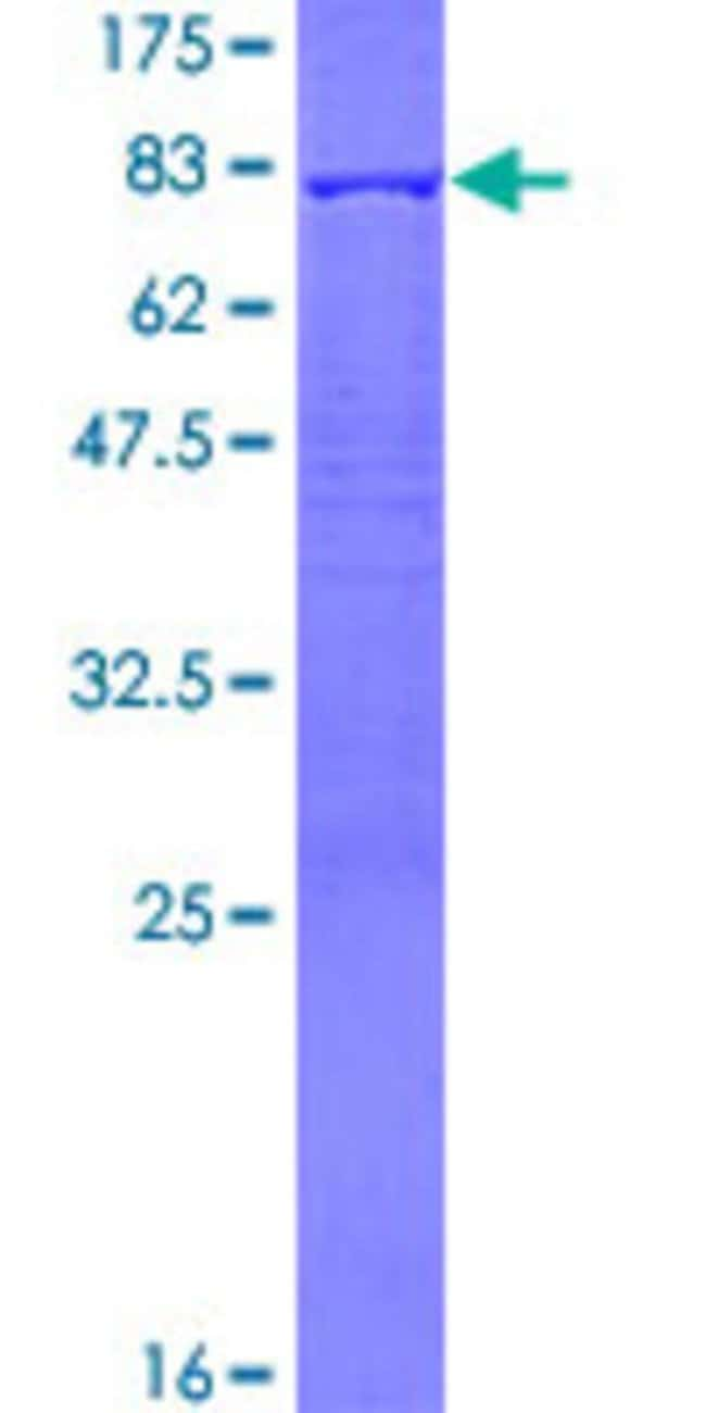 AbnovaHuman PDLIM7 Full-length ORF (AAH01093.1, 1 a.a. - 457 a.a.) Recombinant