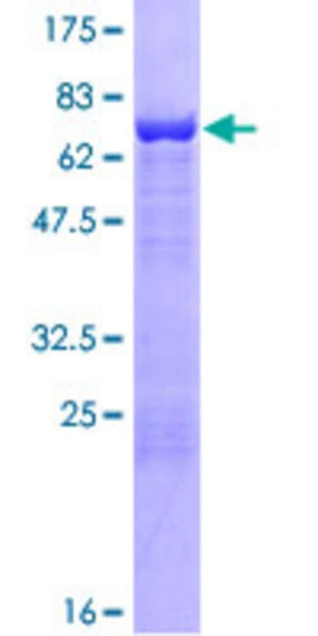 AbnovaHuman CYTH2 Full-length ORF (NP_059431.1, 1 a.a. - 400 a.a.) Recombinant
