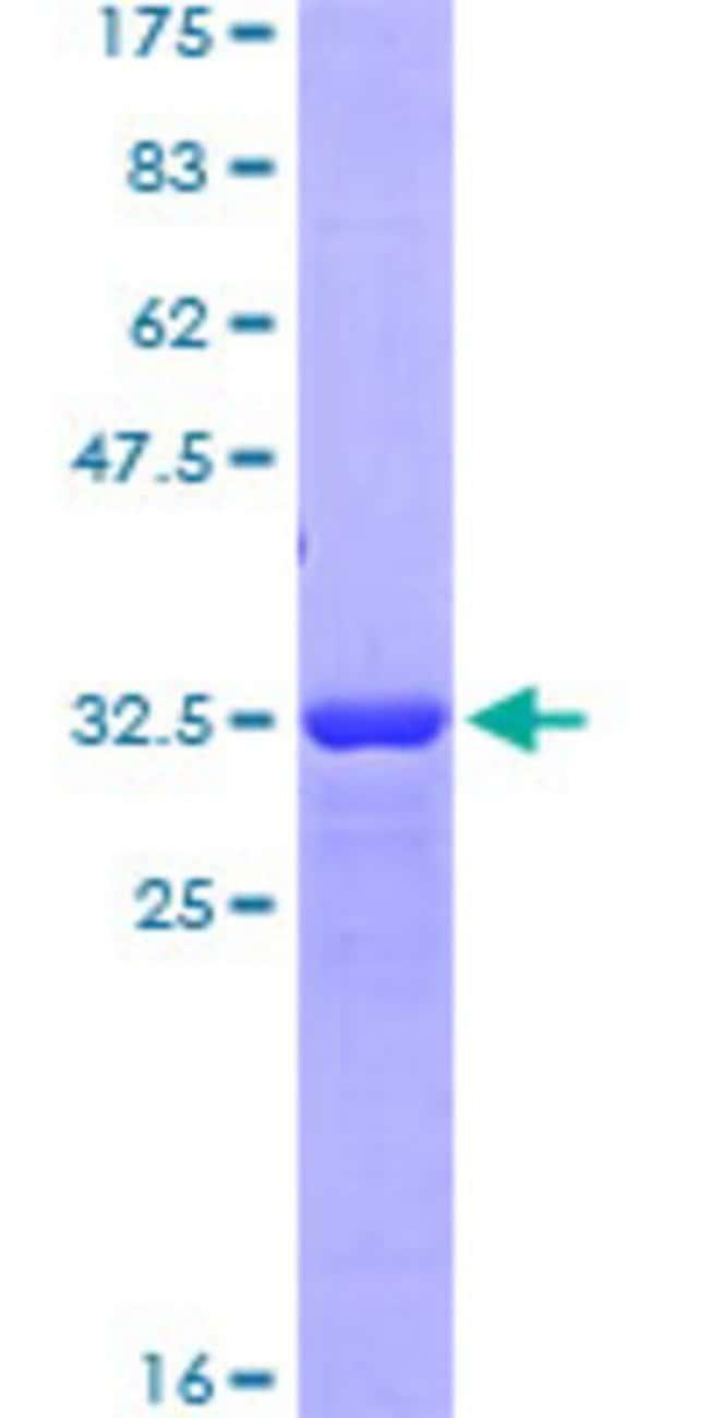 AbnovaHuman CD163 Partial ORF (NP_004235, 78 a.a. - 168 a.a.) Recombinant