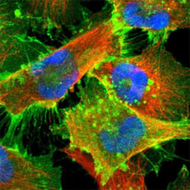 SLC16A1 Rabbit anti-Human, Polyclonal , Abnova 100μL; Unlabeled:Antibodies