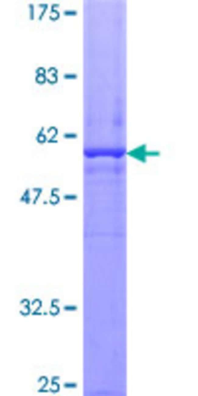 AbnovaHuman ATG5 Full-length ORF (NP_004840.1, 1 a.a. - 275 a.a.) Recombinant
