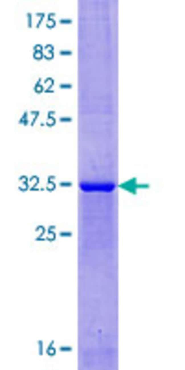 AbnovaHuman XAGE1 Full-length ORF (NP_597673.1, 1 a.a. - 69 a.a.) Recombinant