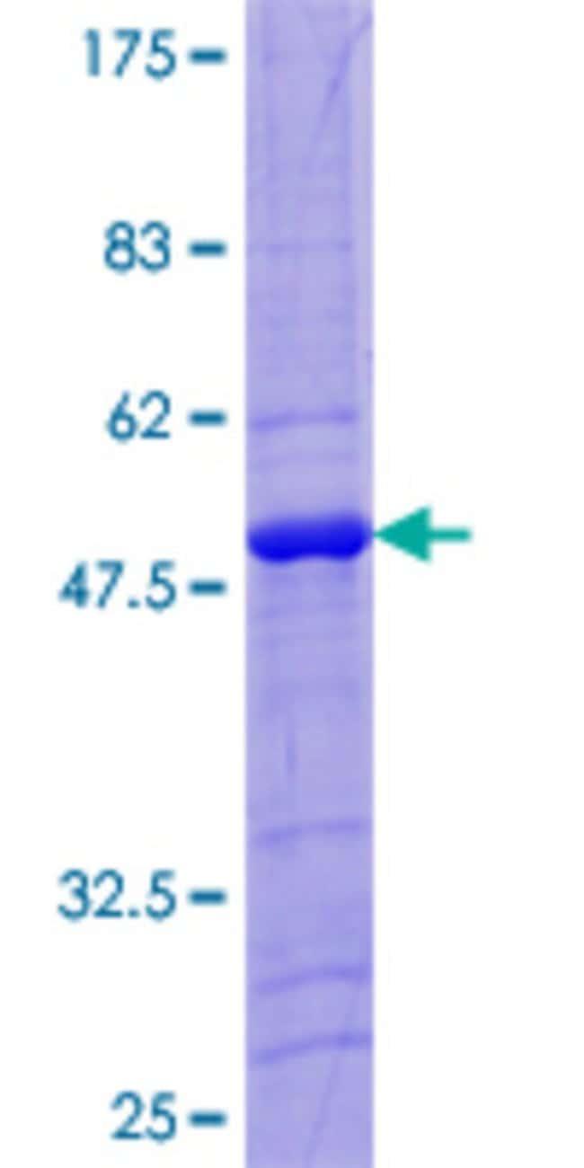 Abnova Human LITAF Full-length ORF (NP_004853.2, 1 a.a. - 161 a.a.) Recombinant