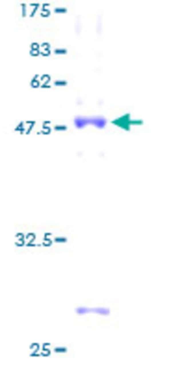 AbnovaHuman TBPL1 Full-length ORF (AAH17559, 1 a.a. - 186 a.a.) Recombinant