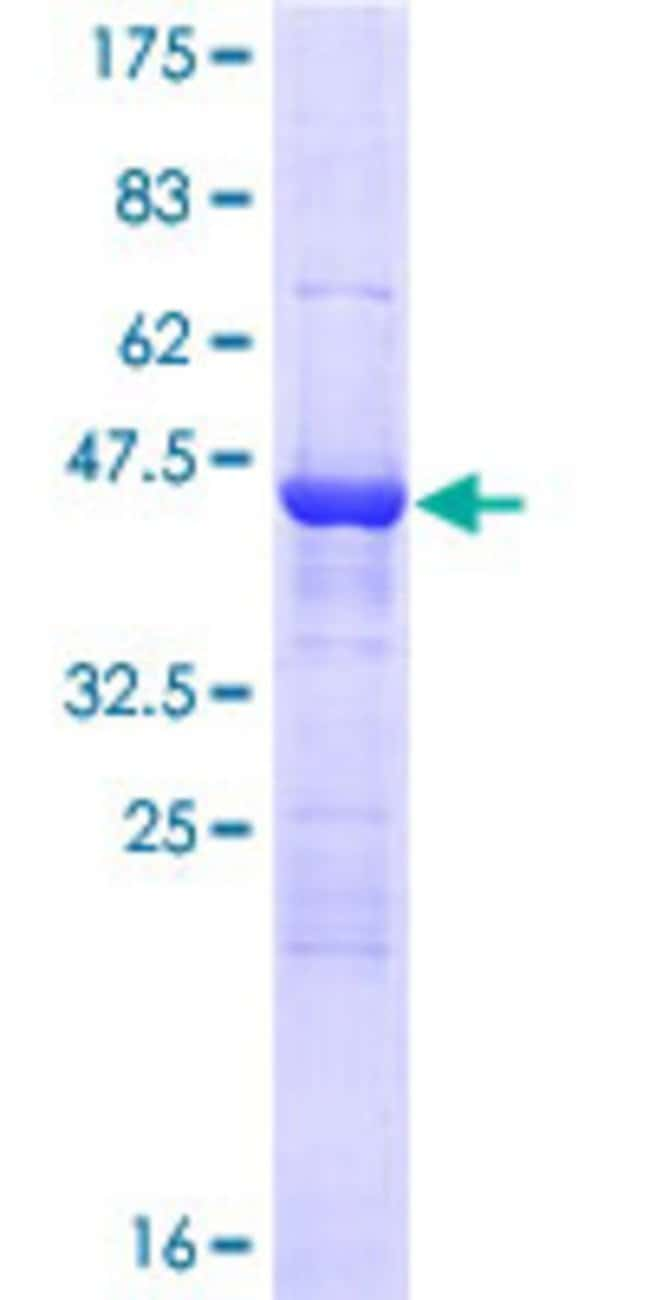 AbnovaHuman BAG2 Full-length ORF (NP_004273.1, 1 a.a. - 211 a.a.) Recombinant
