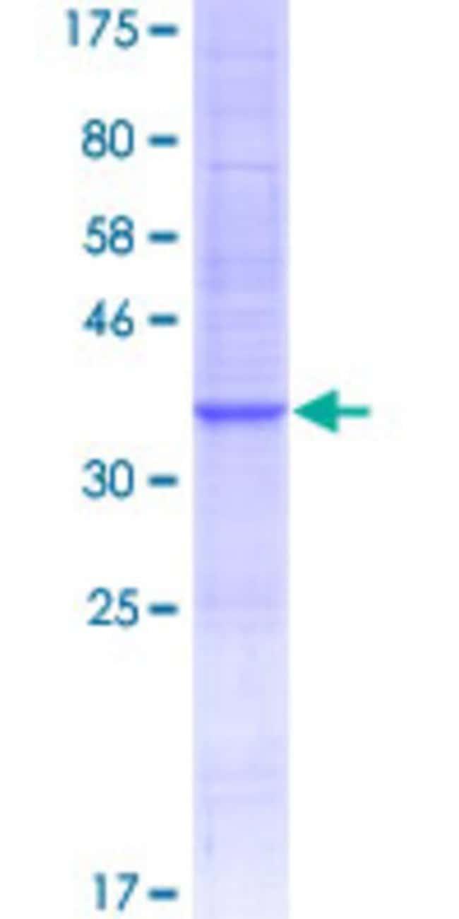 AbnovaHuman CCL4L1 Full-length ORF (AAI48785.1, 1 a.a. - 92 a.a.) Recombinant