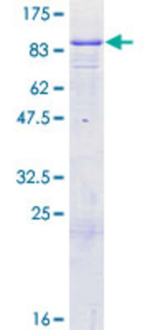 Abnova Human GTPBP1 Full-length ORF (ENSP00000334787, 1 a.a. - 584 a.a.)