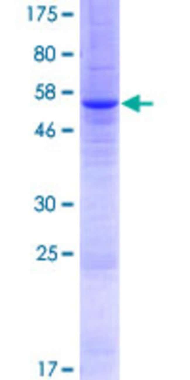 AbnovaHuman CLCA3 Full-length ORF (AAI46528.1, 1 a.a. - 262 a.a.) Recombinant