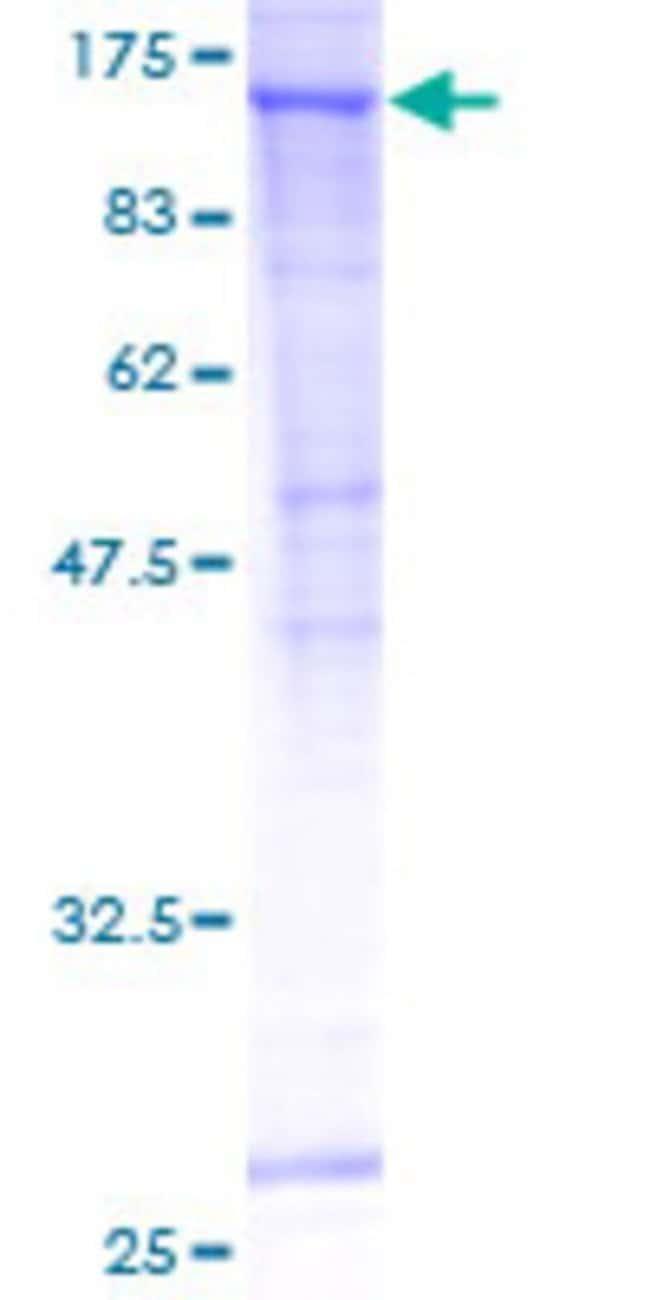 AbnovaHuman SEC24C Full-length ORF (AAH18928, 1 a.a. - 1094 a.a.) Recombinant