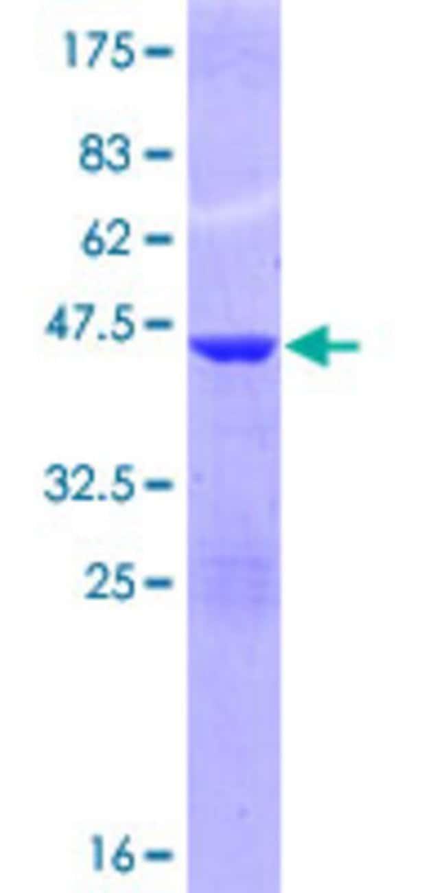 Abnova Human G1P2 Full-length ORF (ENSP00000368699, 1 a.a. - 165 a.a.)