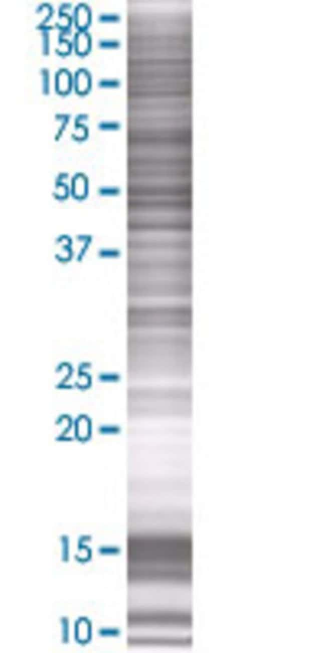 AbnovaARHGEF10 293T Cell Transient Overexpression Lysate (Denatured) 100μL:Protein