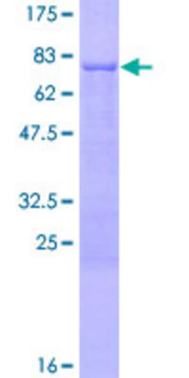 AbnovaHuman PPM1F Full-length ORF (NP_055449.1, 1 a.a. - 454 a.a.) Recombinant