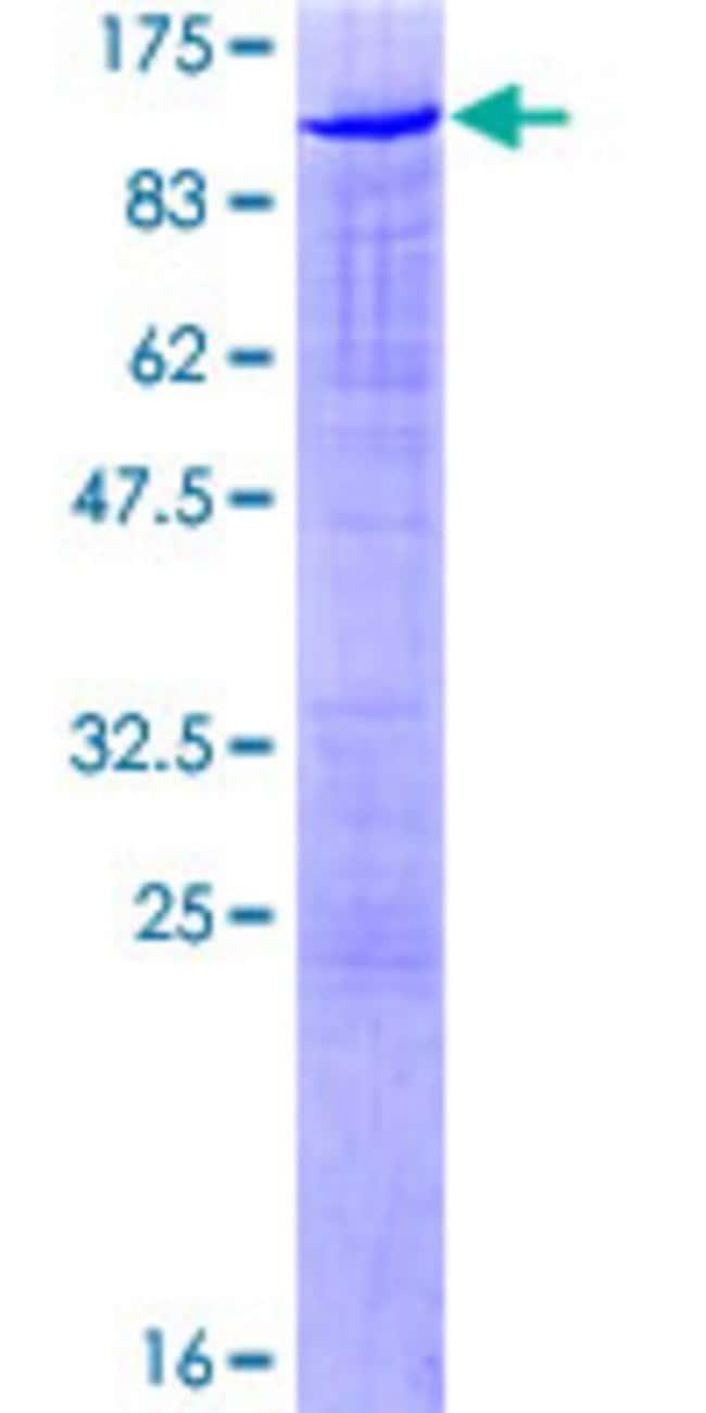 AbnovaHuman SAFB2 Full-length ORF (AAH25279.1, 1 a.a. - 528 a.a.) Recombinant