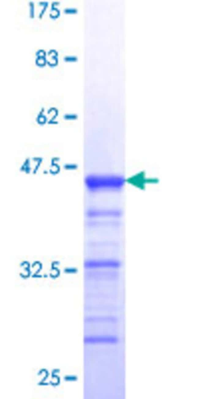 Abnova™ Human SAFB2 Partial ORF (NP_055464, 103 a.a. - 199 a.a.) Recombinant Protein with GST-tag at N-terminal 10μg Abnova™ Human SAFB2 Partial ORF (NP_055464, 103 a.a. - 199 a.a.) Recombinant Protein with GST-tag at N-terminal