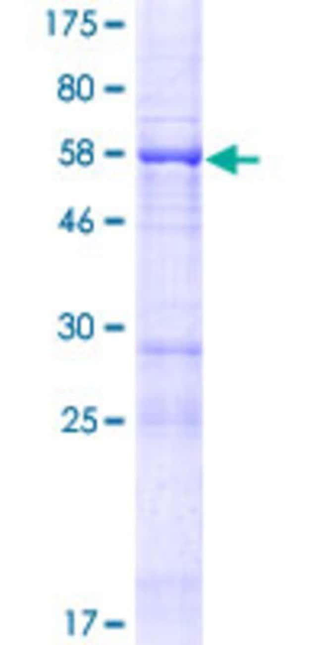 AbnovaHuman FAM53B Full-length ORF (AAH31654.1, 1 a.a. - 305 a.a.) Recombinant