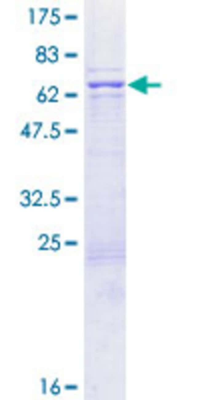AbnovaHuman BZW1 Full-length ORF (NP_055485.2, 1 a.a. - 353 a.a.) Recombinant