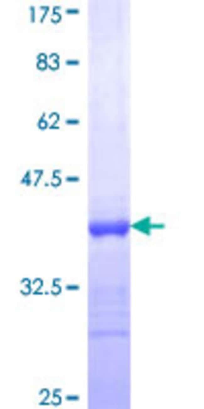 AbnovaHuman PCDHGA8 Partial ORF (NP_114477, 357 a.a. - 444 a.a.) Recombinant