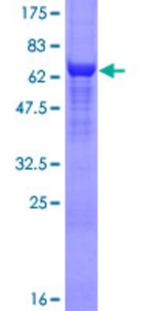 AbnovaHuman DDX48 Full-length ORF (NP_055555.1, 1 a.a. - 411 a.a.) Recombinant