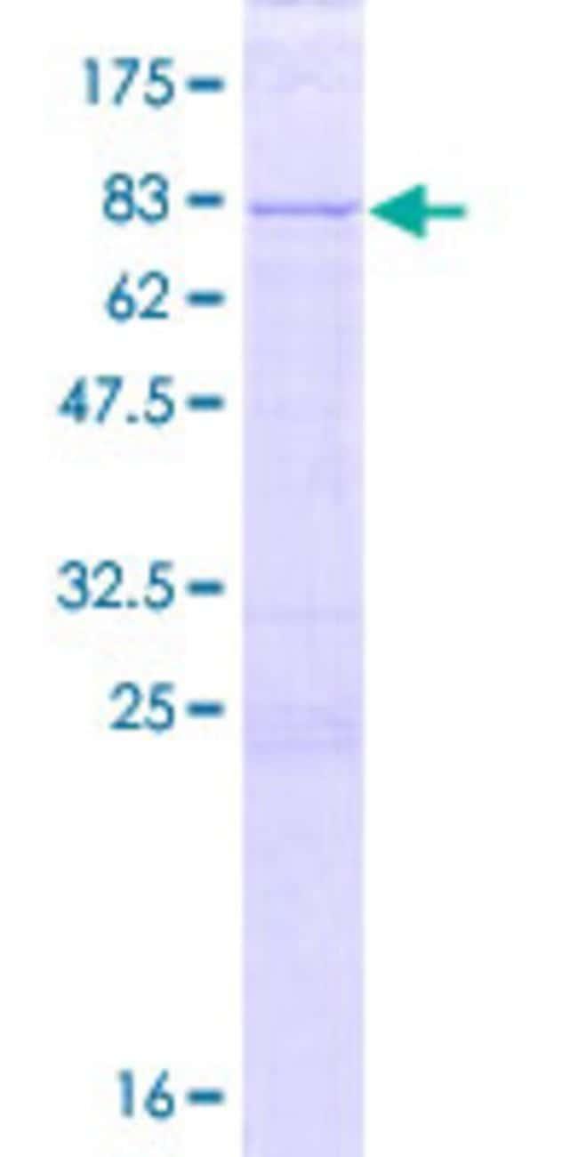 Abnova Human KIAA0141 Full-length ORF (NP_055588.2, 1 a.a. - 515 a.a.)