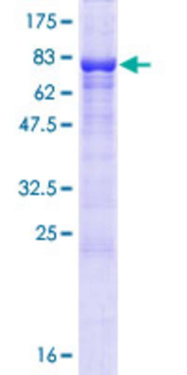 AbnovaHuman KIAA0494 Full-length ORF (NP_055589.1, 1 a.a. - 495 a.a.) Recombinant