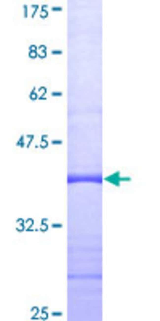 AbnovaHuman THRAP4 Partial ORF (AAH11375, 1 a.a. - 110 a.a.) Recombinant