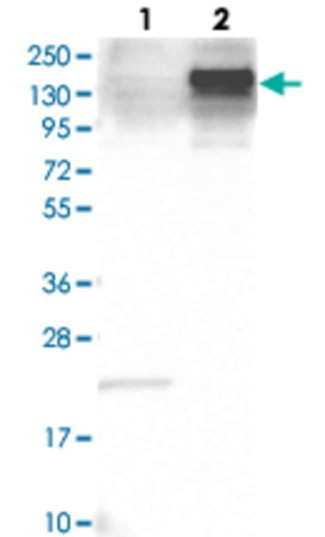 ANLN Rabbit anti-Human, Polyclonal , Abnova 100μL; Unlabeled:Antibodies