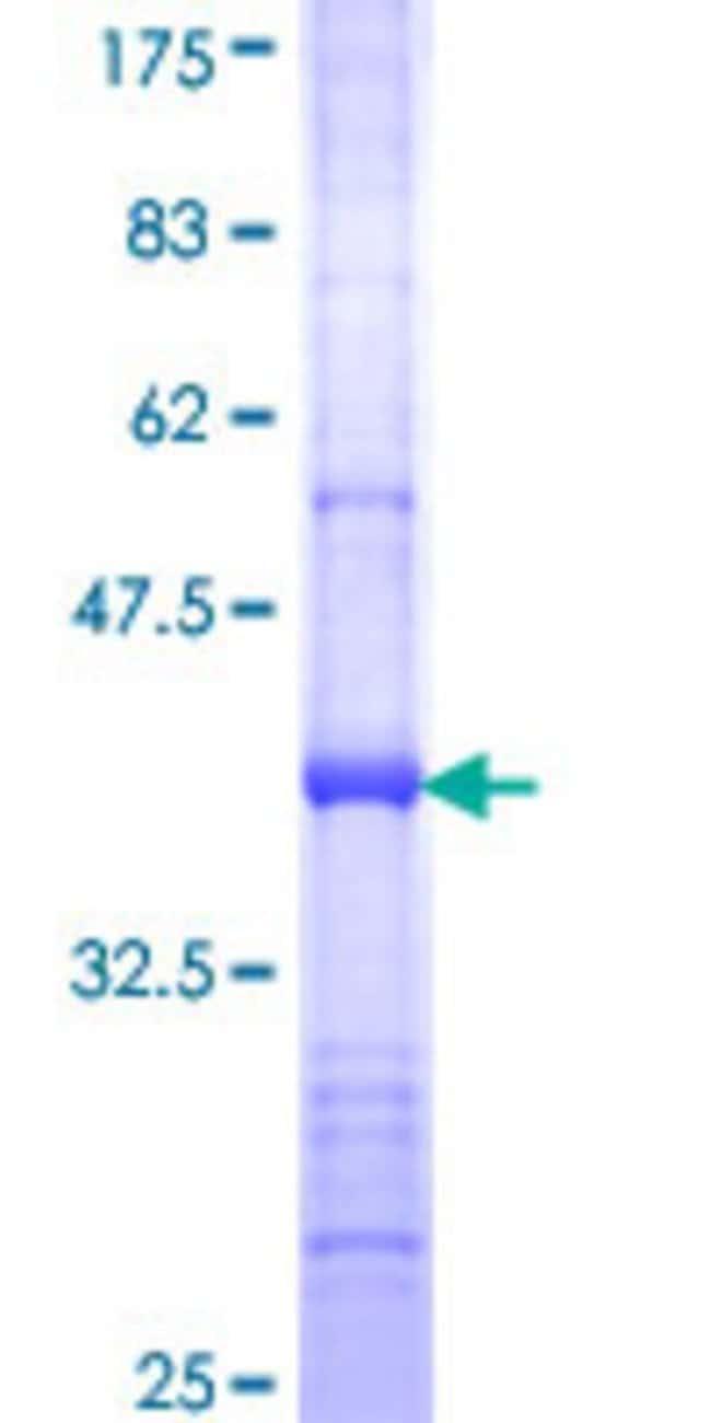 AbnovaHuman SEC24D Partial ORF (NP_055637, 935 a.a. - 1032 a.a.) Recombinant