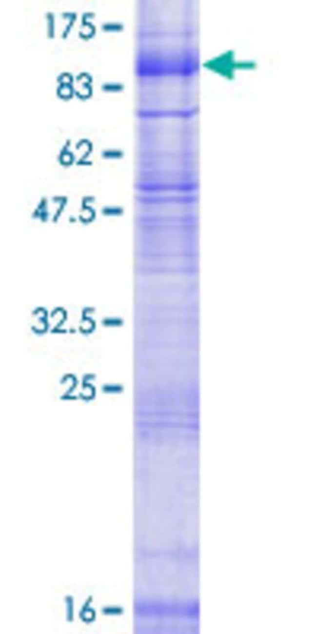 AbnovaHuman SV2B Full-length ORF (NP_055663.1, 1 a.a. - 683 a.a.) Recombinant
