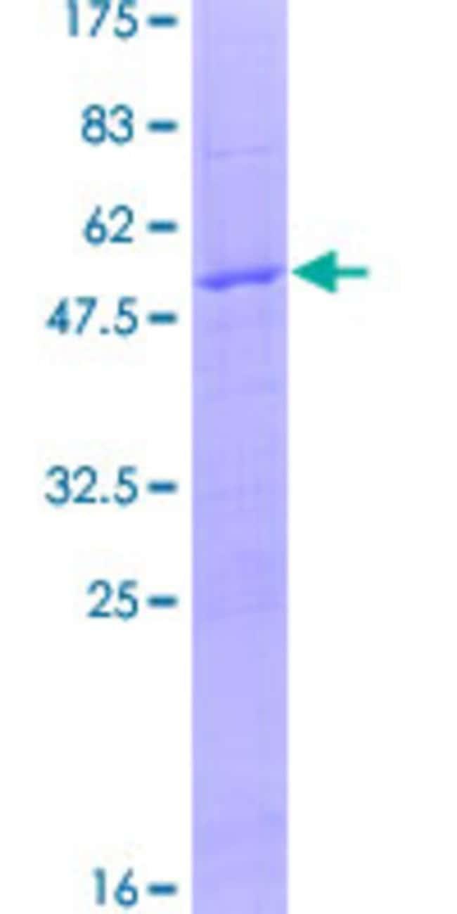 AbnovaHuman ARNT2 Full-length ORF (AAH51335.1, 1 a.a. - 217 a.a.) Recombinant