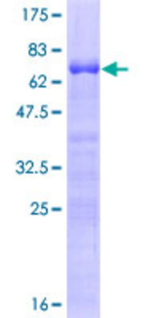 Abnova™Human MAFB Full-length ORF (NP_005452.2, 1 a.a. - 323 a.a.) Recombinant Protein with GST-tag at N-terminal 25μg Abnova™Human MAFB Full-length ORF (NP_005452.2, 1 a.a. - 323 a.a.) Recombinant Protein with GST-tag at N-terminal